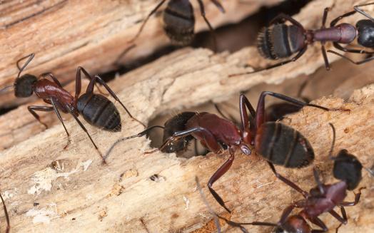 istock Carpenter ants, Camponotus herculeanus 178057295
