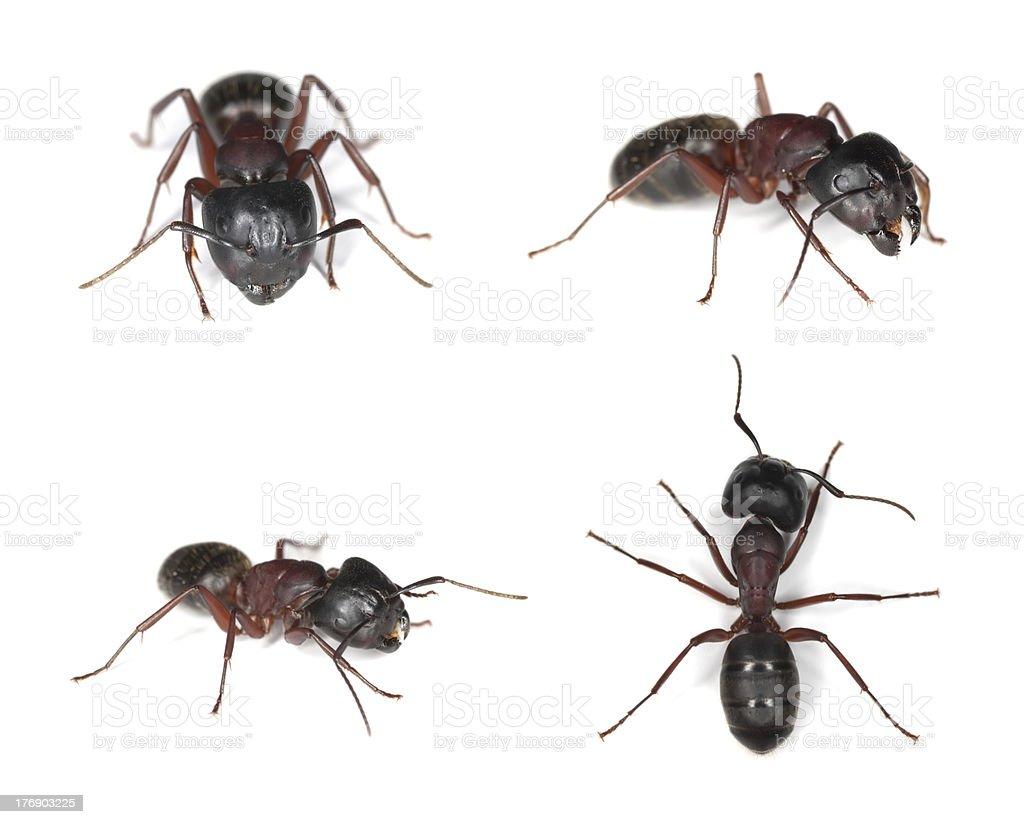 Carpenter ants (Camponotus herculeanus) royalty-free stock photo