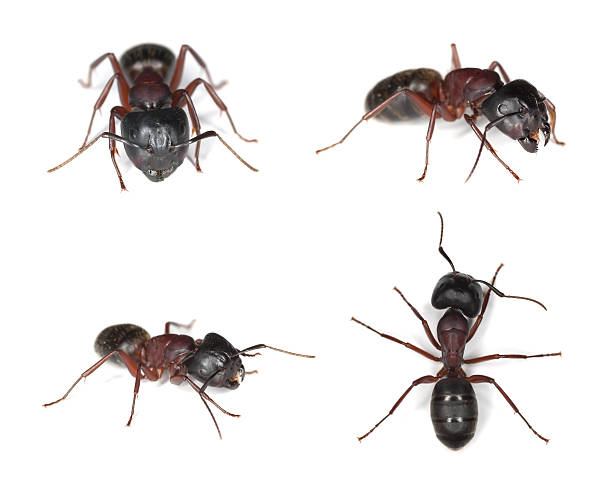 Carpenter ants (Camponotus herculeanus) stock photo