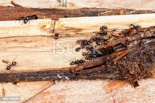 istock Carpenter Ants Working on Parts of Decayed, Rotting Wood 506798082