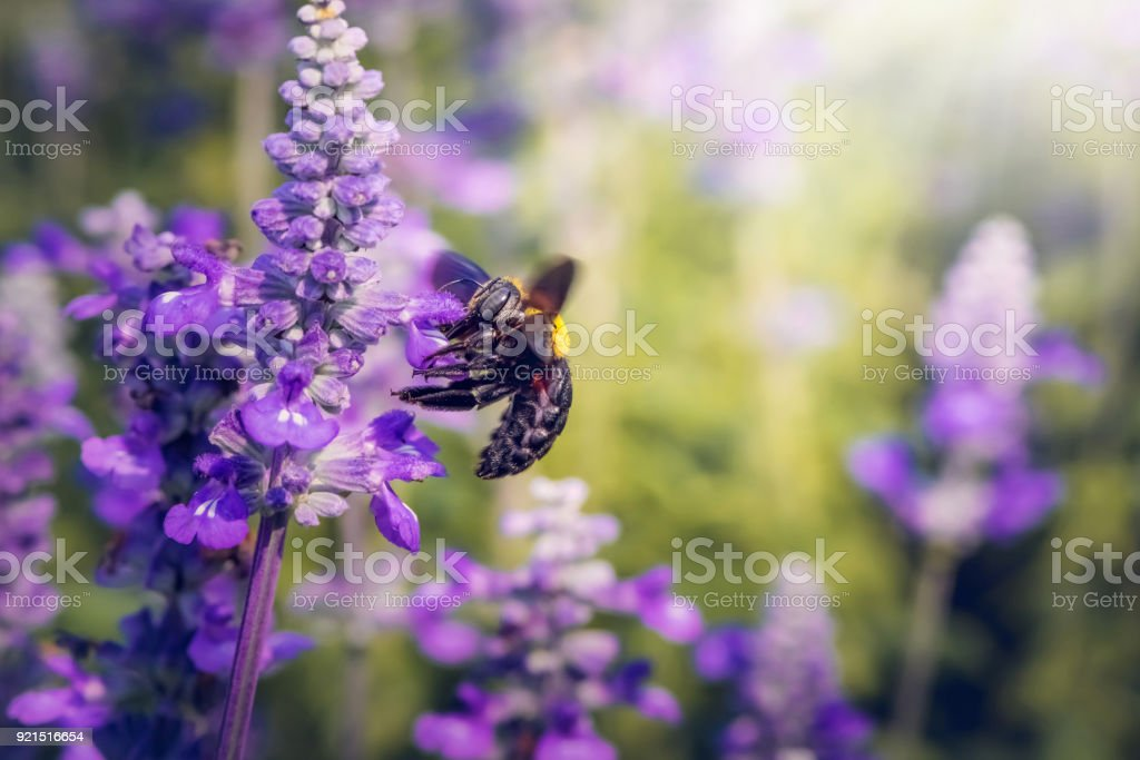 Carpenter Bee are flying to beautiful flowers in nature stock photo