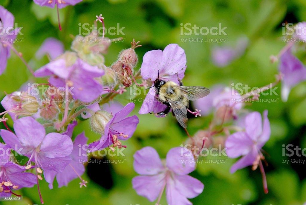Holzbiene auf Waldstorchschnabel Lizenzfreies stock-foto