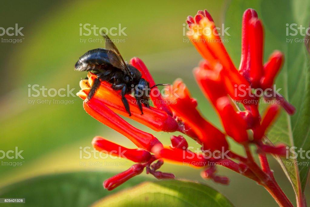 Carpenter bee on flower. stock photo