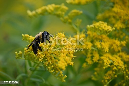 Carpenter bee on goldenrod in September with copy space above