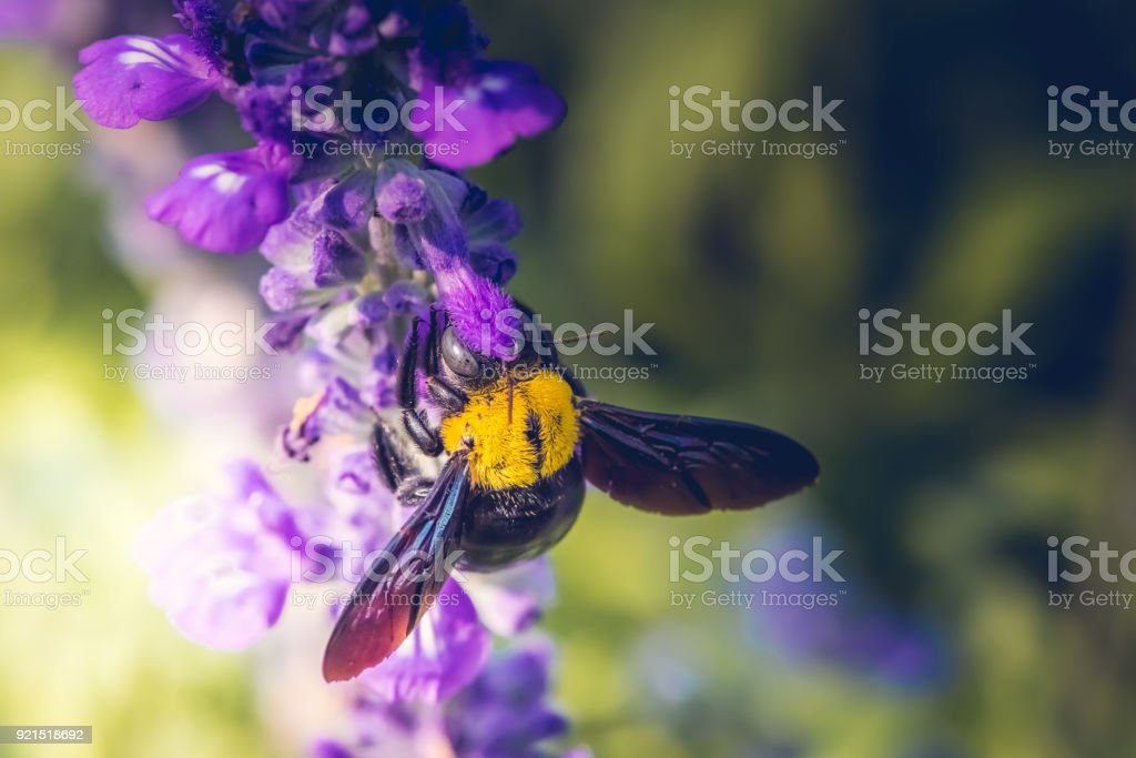 Carpenter Bee perched on the beautiful flowers in nature stock photo