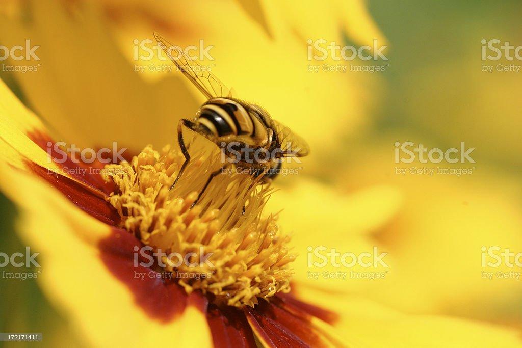 Carpenter Bee royalty-free stock photo