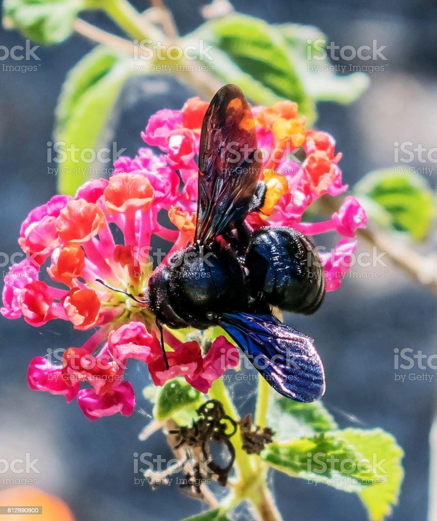 Carpenter Bee stock photo