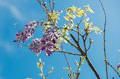 Carpenter bee (Xylocopa Valga) pollinate purple and lavender wisteria flowers. Selective focus.