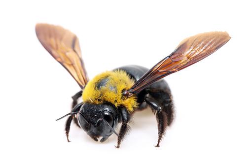 istock Carpenter bee Xylocopa 502119231