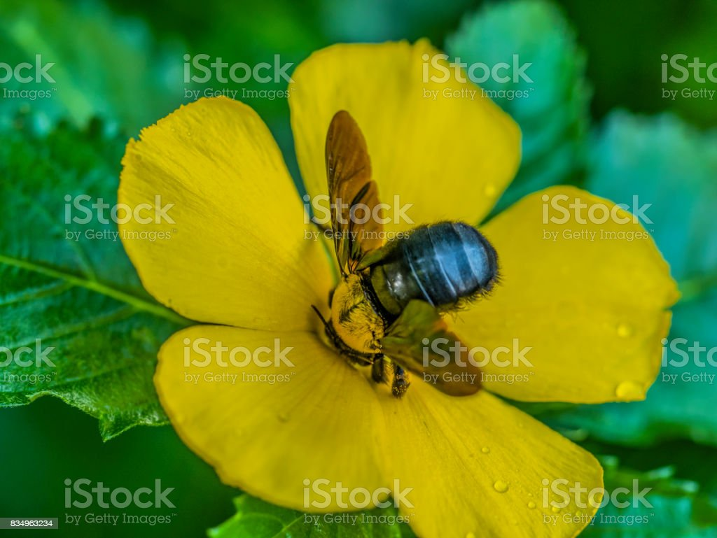 Carpenter Bees On A Blooming Yellow Sage Rose Flower Stock Photo
