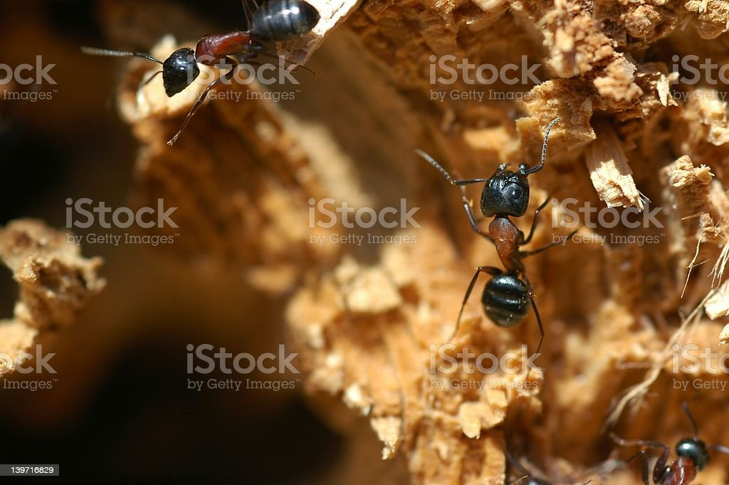 carpenter wood ants close up royalty-free stock photo
