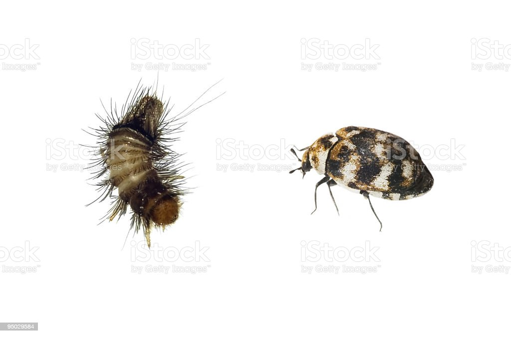 Carpet Beetle and Woolly Bear stock photo