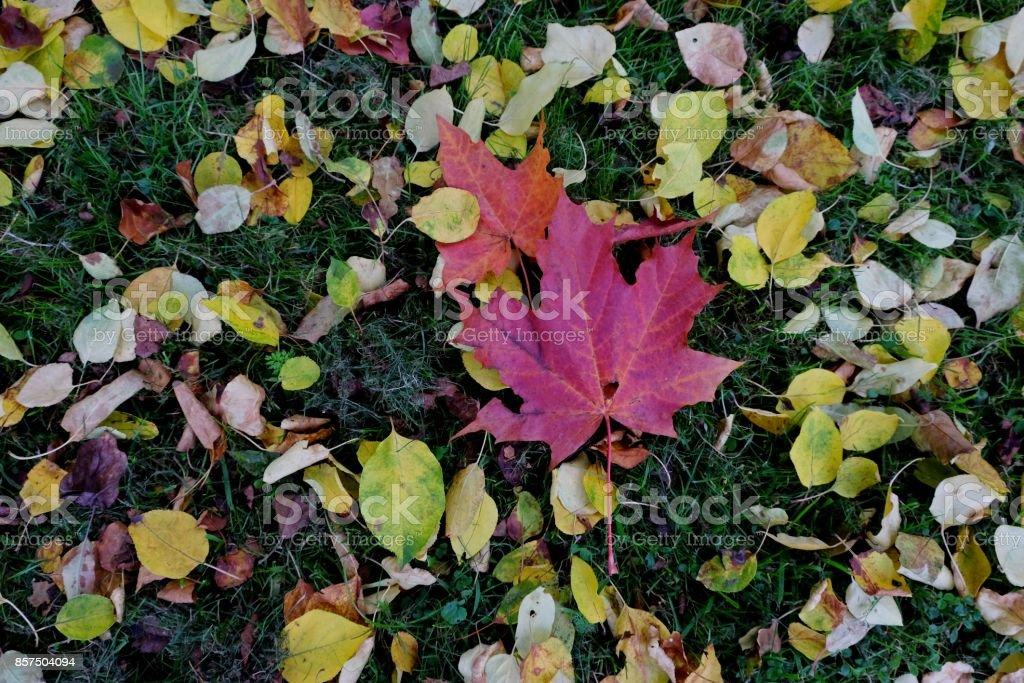 Carpet of autumn maple leaves. stock photo