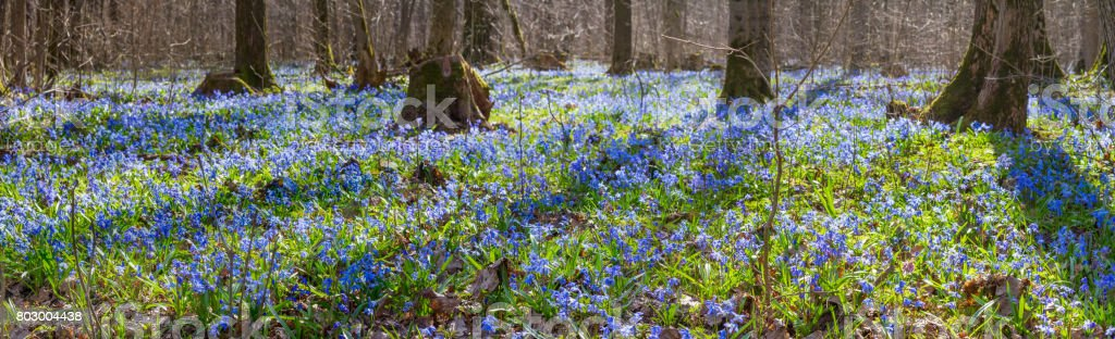 Carpet of blue snowdrop blossom flowers in early spring forest. Scilla siberica Squill -- spring landscape, banner, panorama stock photo