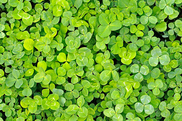 Carpet of Clover  mike cherim stock pictures, royalty-free photos & images