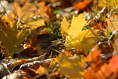 Carpet of fallen autumn leaves on grass. Beautiful colorful leaves in autumn forest. Red, orange, yellow, green and brown autumn leaves. Maple and oak dry foliage.