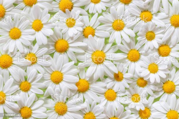 Carpet of flowers of beautiful white daisies for backgrounds picture id1169368140?b=1&k=6&m=1169368140&s=612x612&h=ryr8x9mq9skk9spxw7hrc9wwfqn2u64fm2t7okqhreo=
