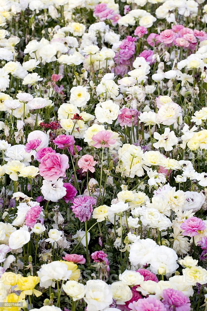 A Carpet of Flowers royalty-free stock photo