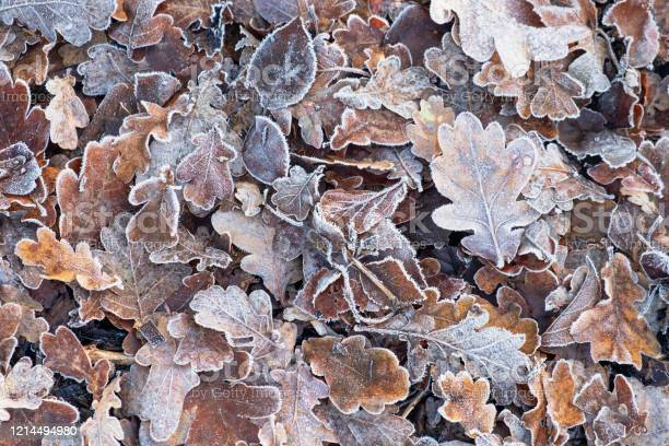 Photo of Carpet of frosted leaves in winter UK