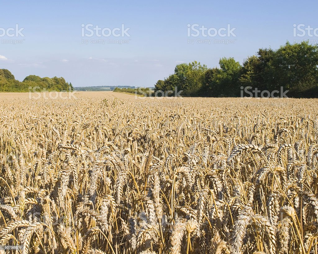 Carpet of golden corn royalty-free stock photo