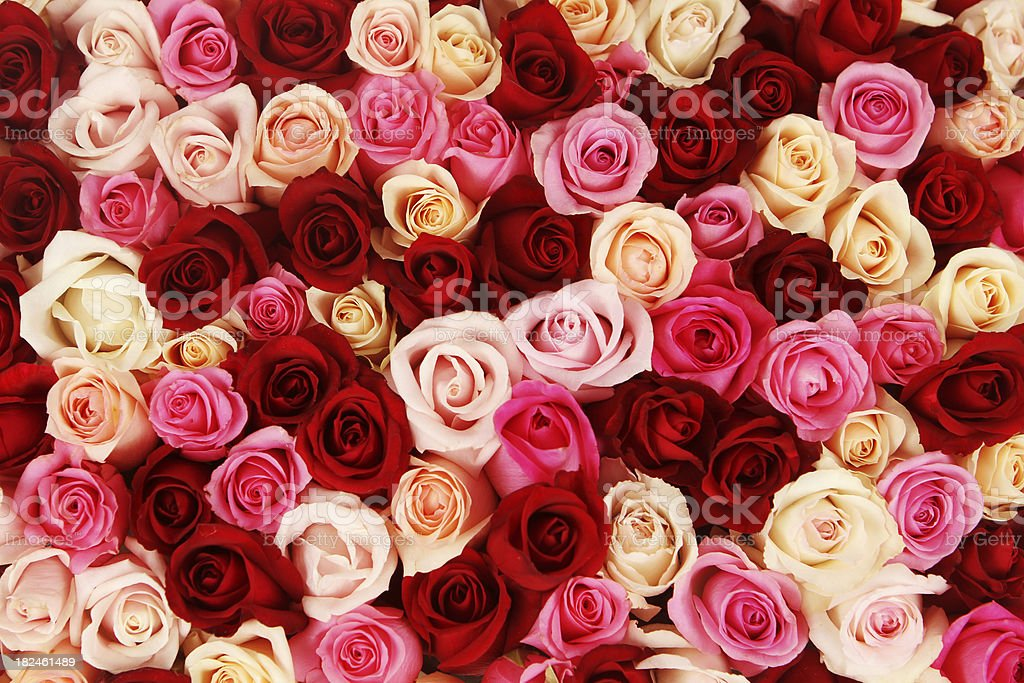 Carpet of Multicolored Roses stock photo