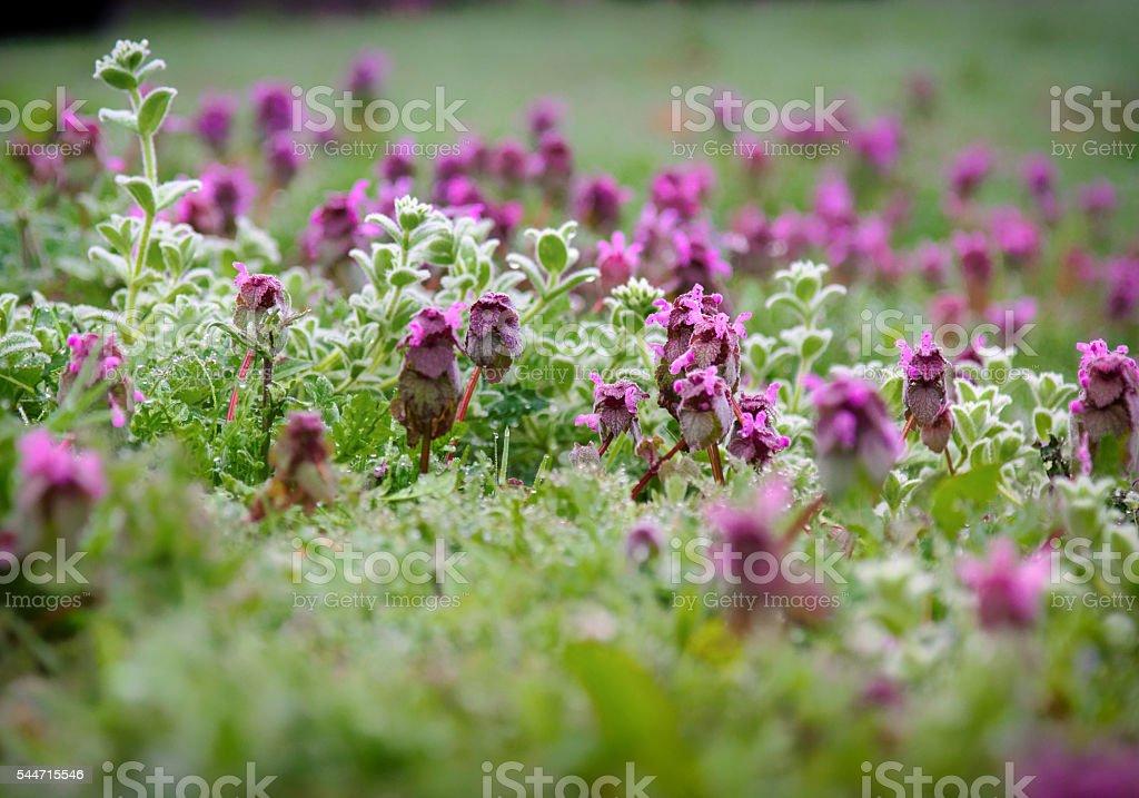 Carpet of purple flowers stock photo