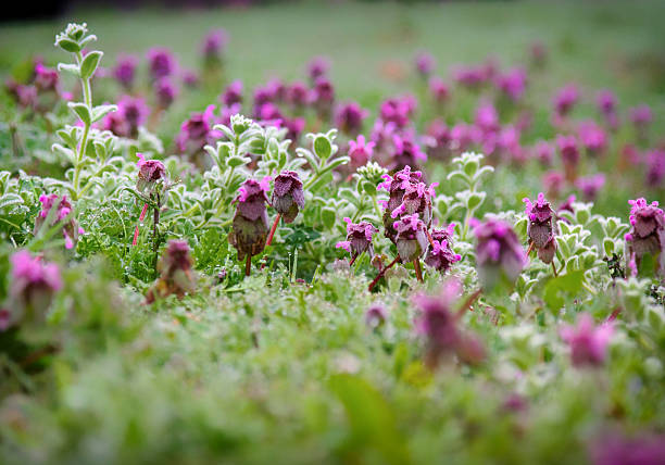 carpet of purple flowers - rikmcrae stock photos and pictures