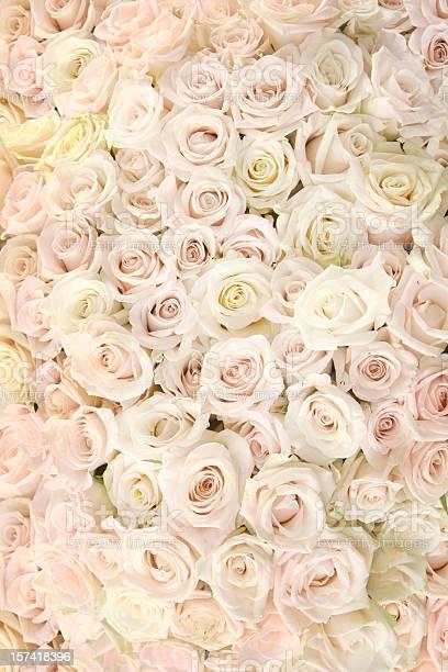 Carpet of white roses picture id157418396?b=1&k=6&m=157418396&s=612x612&h=duchr kdqehjxe8y86moqn uszchm 8vcqxzftxbugw=