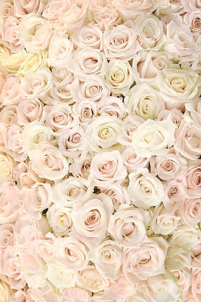 Carpet of white roses picture id157418396?b=1&k=6&m=157418396&s=612x612&w=0&h=mkejk75 6pcim4us7wuzmk5azzdud nzq9f6savhdtu=