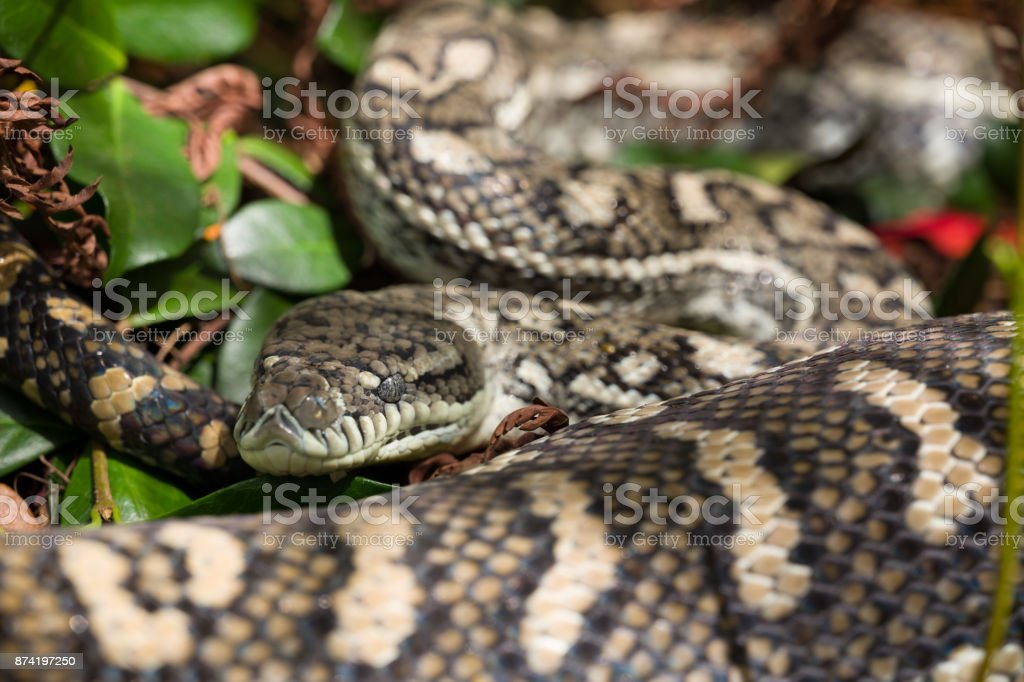 Carpet Python asleep after a meal stock photo