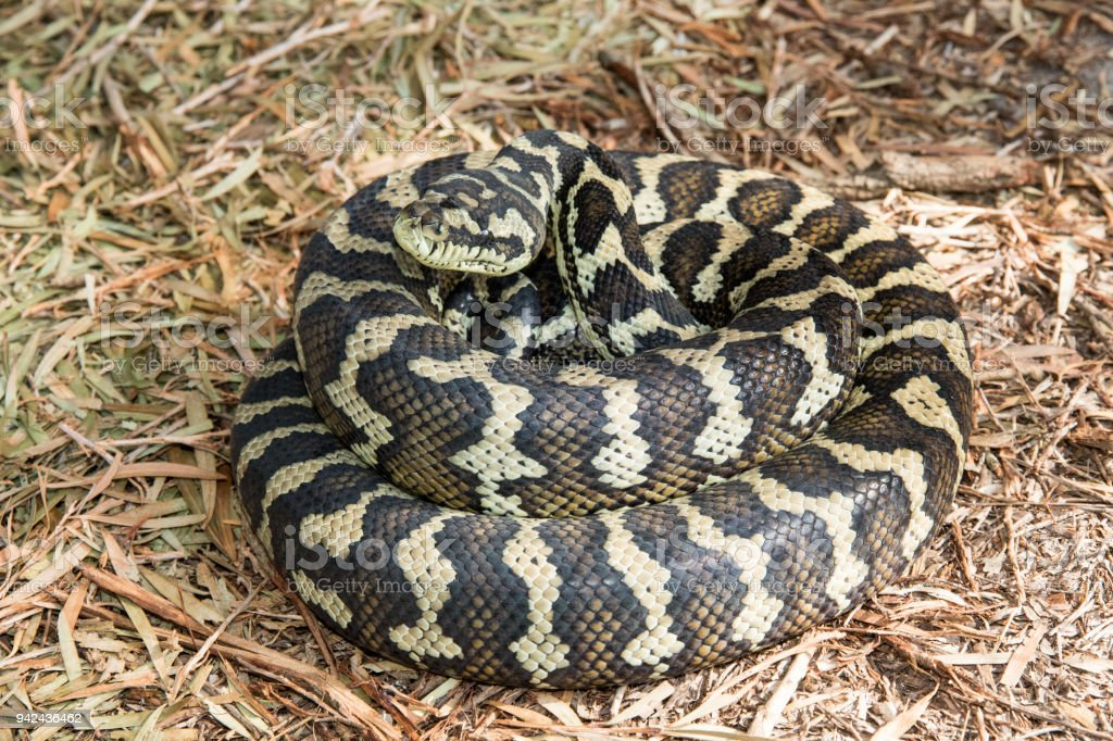 Carpet Python stock photo