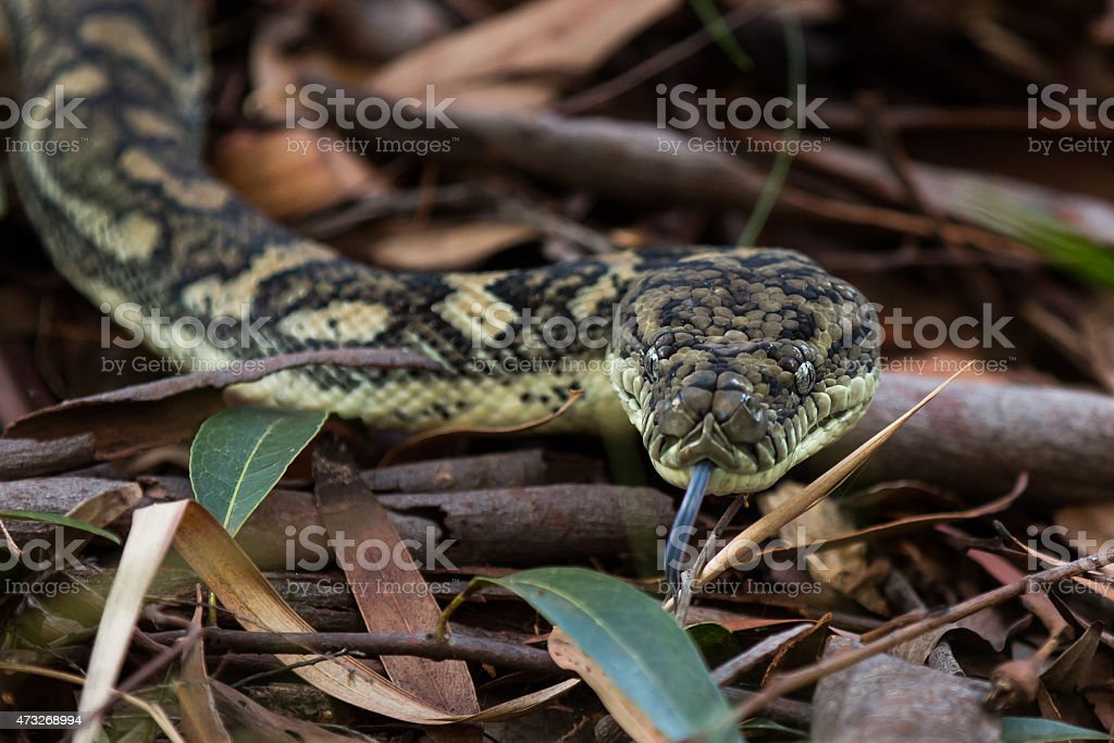 Carpet Python Snake stock photo
