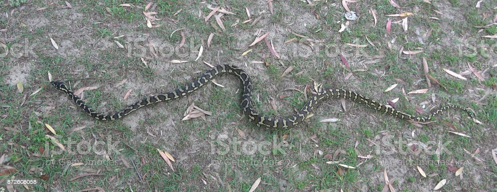 Carpet snake stock photo