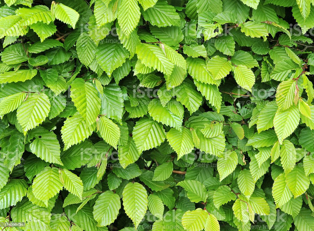 Carpinus Betulus stock photo
