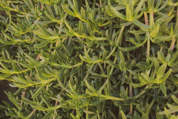 carpobrotus edulis. närbild av vilda gröna suckulenter på stranden. ekologisk och naturlig textur och bakgrund. - gemsbok green bildbanksfoton och bilder