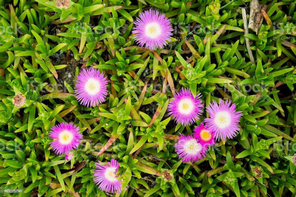 Bloeiende Vetplanten Voor Buiten.Carpobrotus Edulis Paars Met Gele Vetplanten Bloemen Bloeien