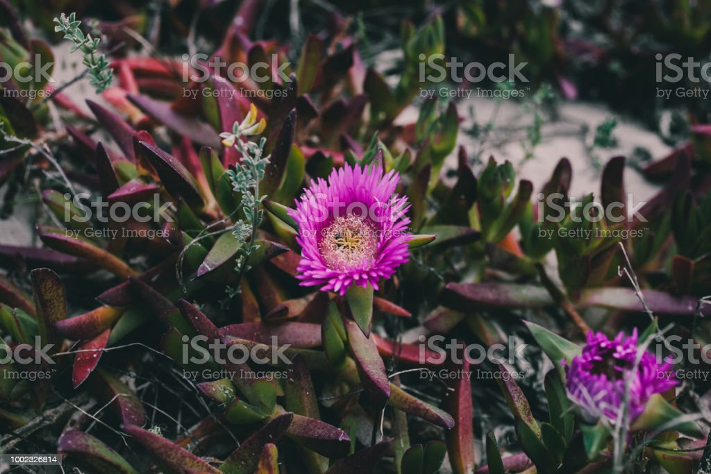 Carpobrotus Edulis Purple Flower Closeup View Of Wild Green Succulent Background For Design Wild Pink Flowers At The Beach Stock Photo Download Image Now Istock