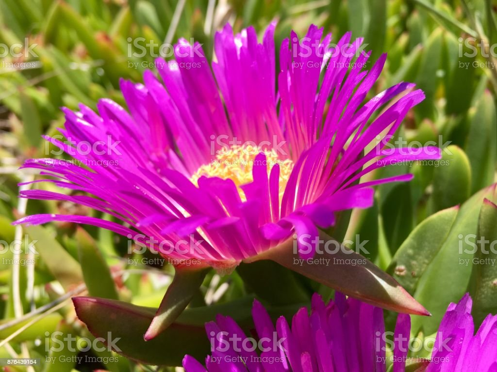 Carpobrotus or Ice Plant Flower stock photo
