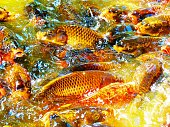 Carps also known as koi fishes in the pond.