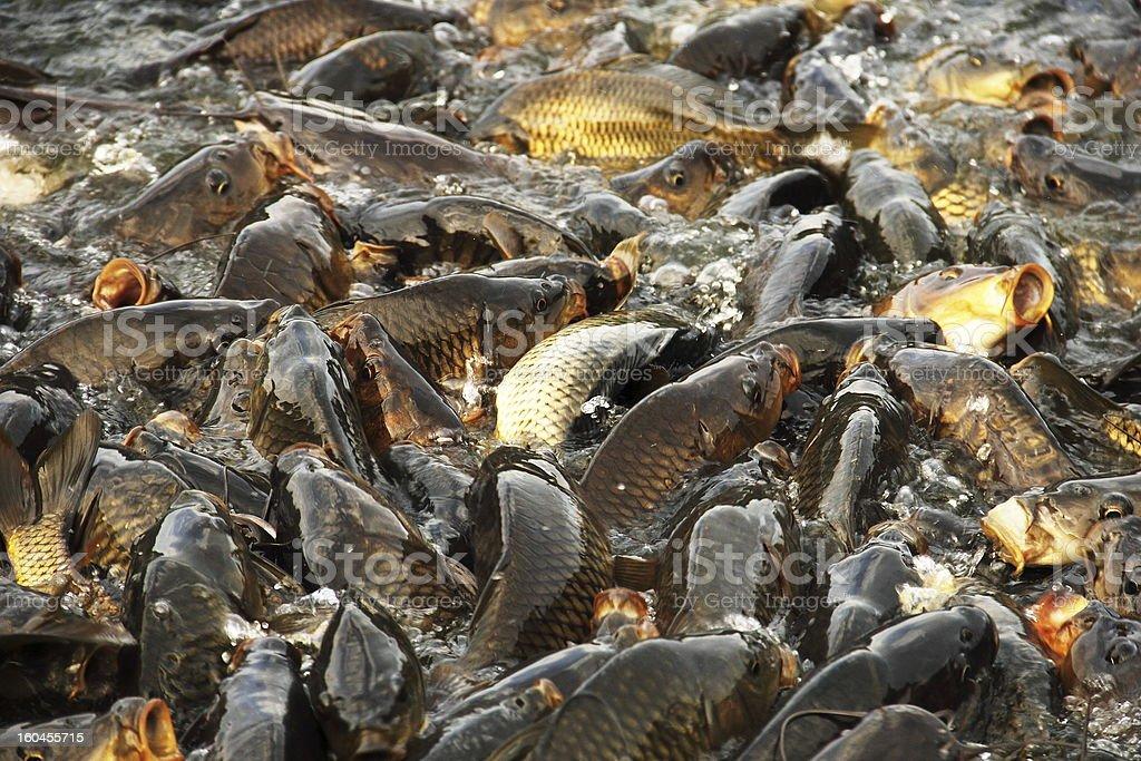 Carps in the Sacred Lake of Rewalsar stock photo