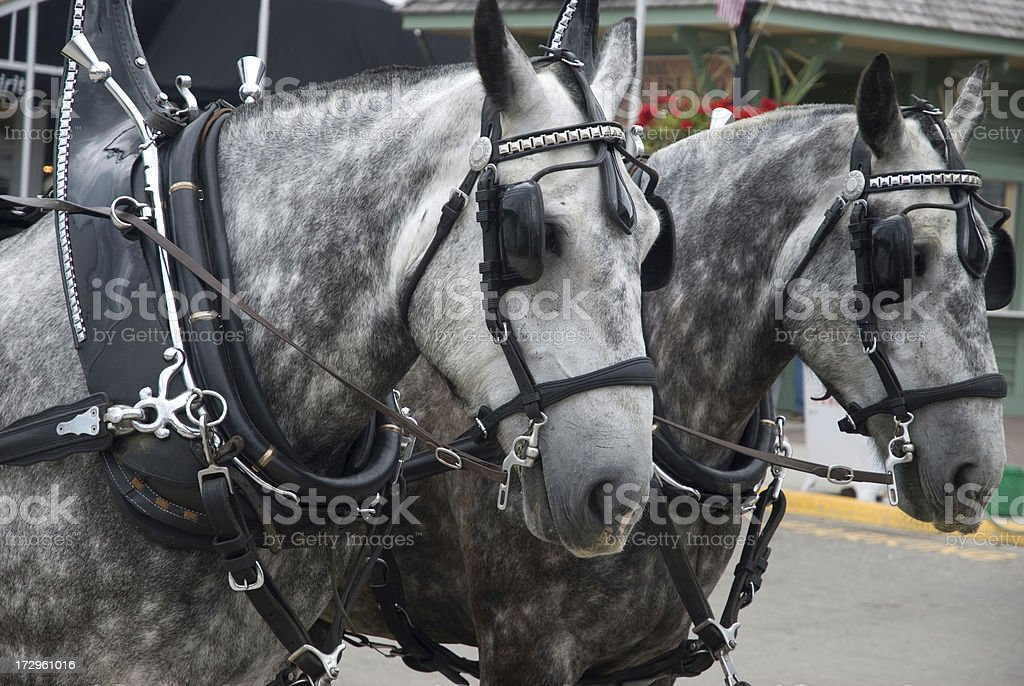 carraige team horses - mackinac island stock photo