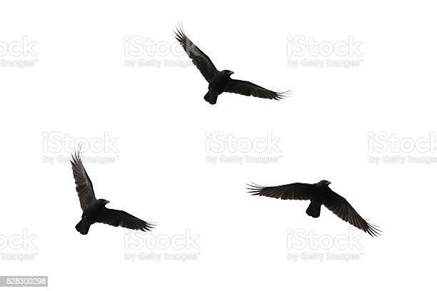 Carrian crows in flight picture id528300298?b=1&k=6&m=528300298&s=612x612&h=0icps9movjxe1u3bmqebfzw83b3ntz8xf1us4nhzmtk=