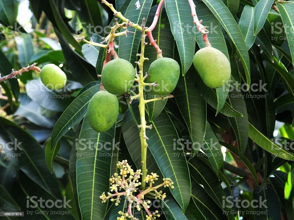 Carrie Mango Tree stock photo