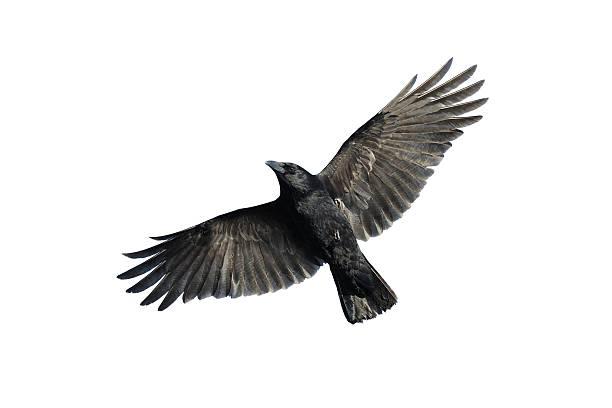 Carrion crow in flight picture id459643079?b=1&k=6&m=459643079&s=612x612&w=0&h=see8ekanixlb12 zdlzivixbaitjsch s17wmb kene=