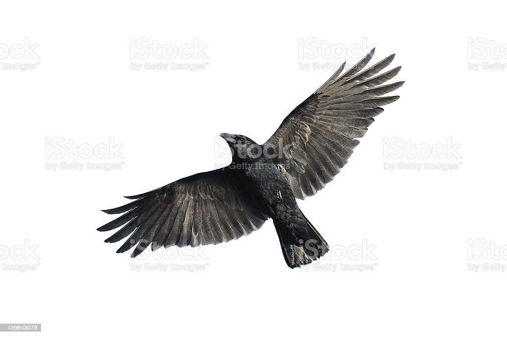 Carrion crow in flight stock photo