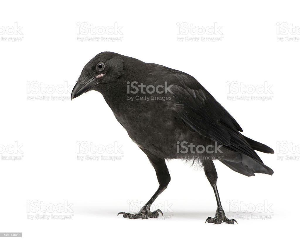 Carrion crow looking at camera stock photo
