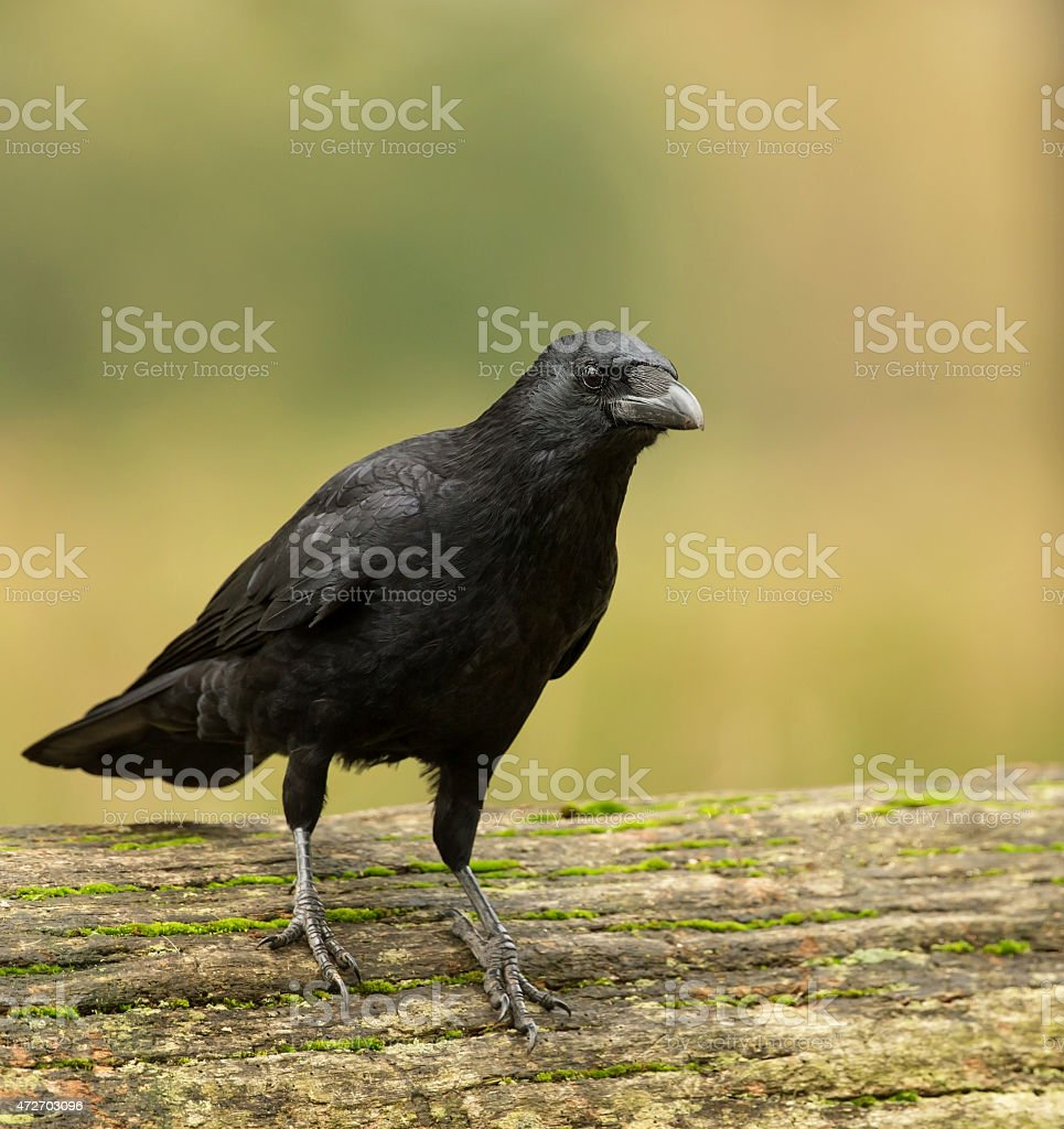 Carrion crow on the tree trunk stock photo