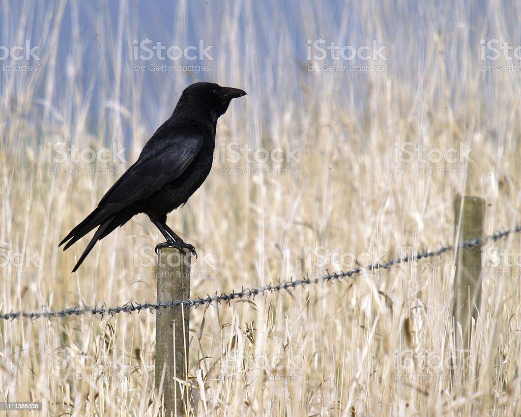 Carrion Crow  (Corvus corone) stock photo