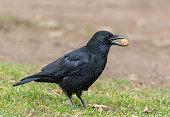 Carrion crow with walnut.