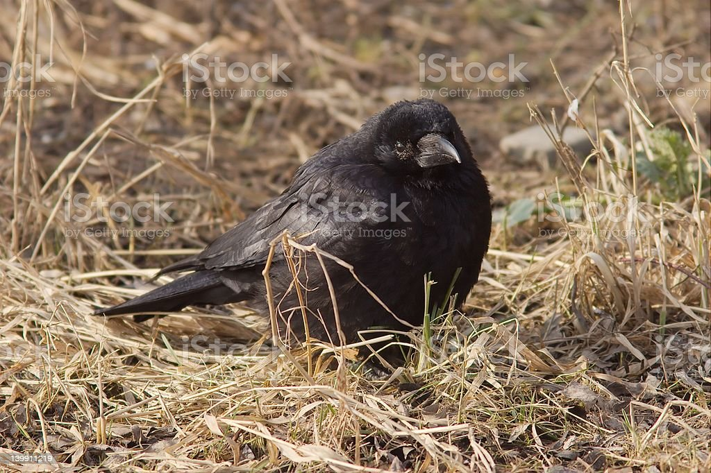 Carrion Crow royalty-free stock photo
